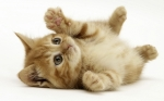 cute-fluffy-kitten-playing-wool