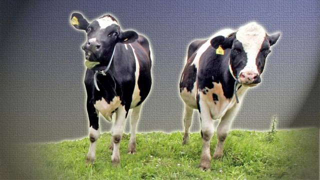 cows_1472567726912_1929865_ver1-0