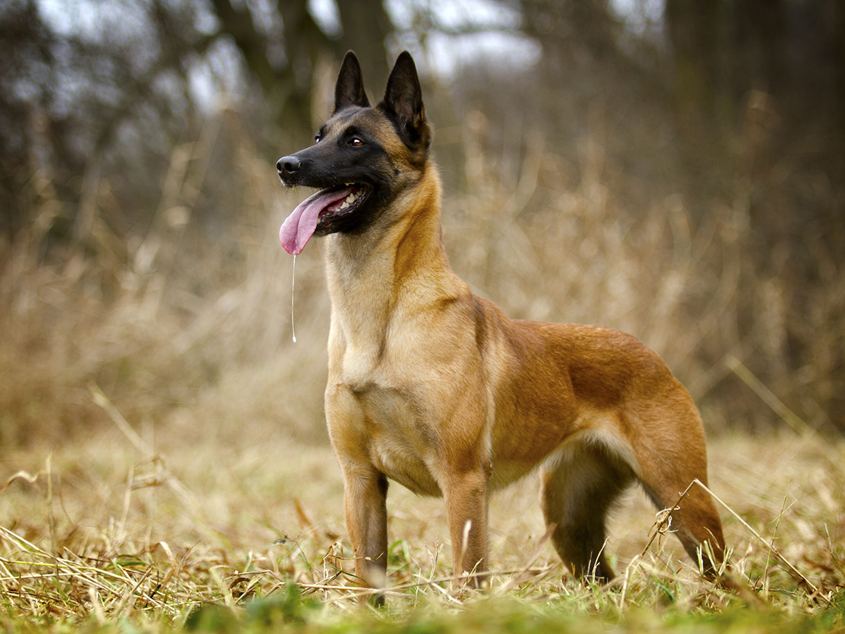 U.S. Navy SEALs have chosen the Belgian Malinois as the ...